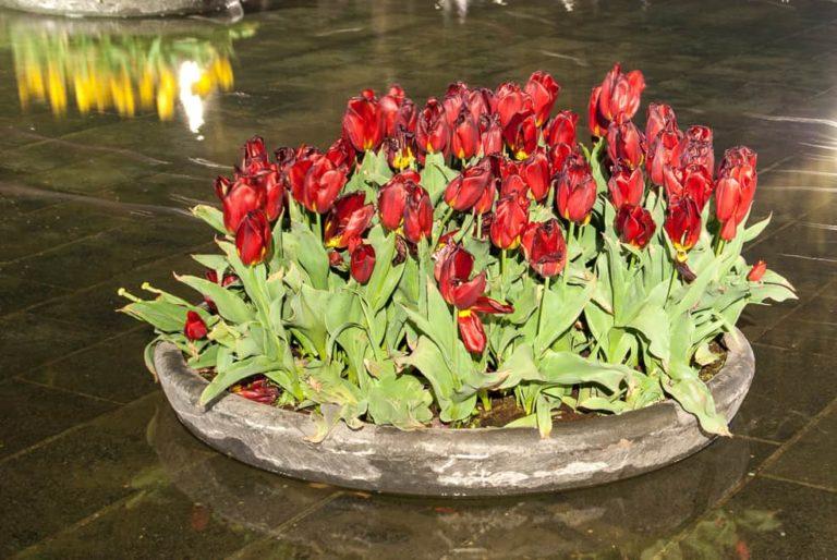 Amsterdam Tulips Night 2015