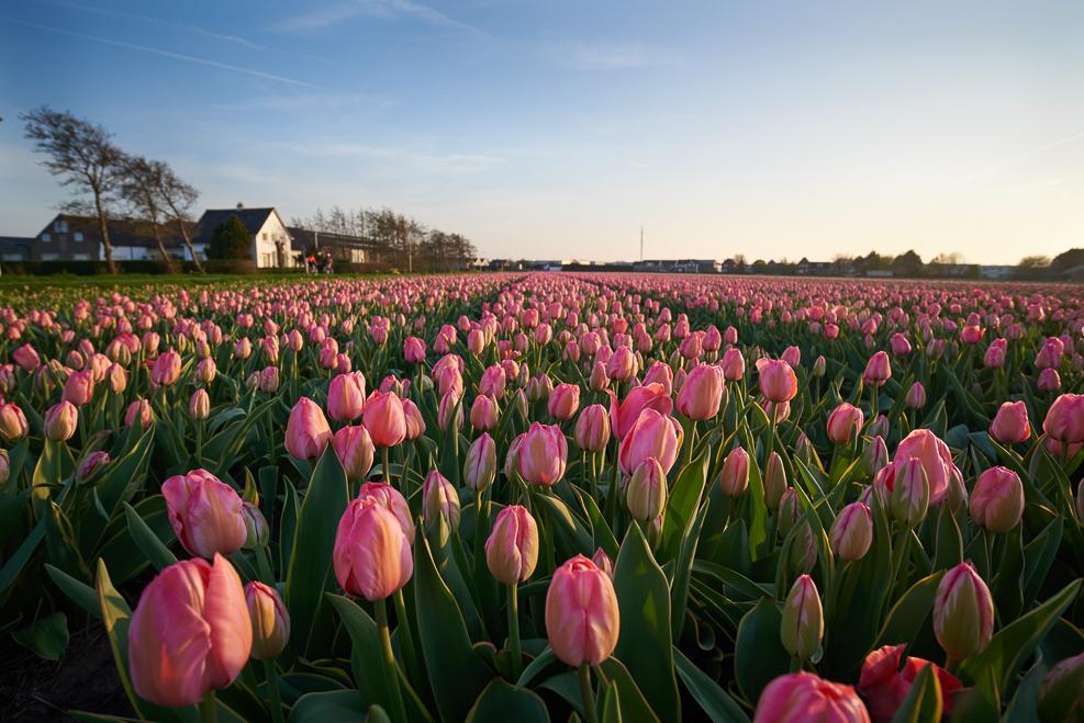 Lisse Tulips 2018_12